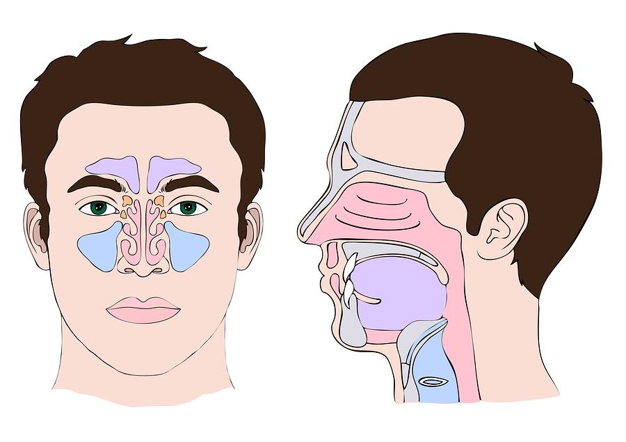 bigstock-Anatomy-Nose-eps-32318279